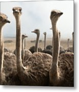 Group Of Ostriches On A Farm With Misty Metal Print
