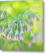 Sicilian Honey Lily Metal Print