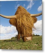 Hairy, Horned, Highland Cow Grazing Metal Print