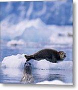 Harbor Seal Phoca Vitulina In Glacial Metal Print