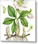 Hellebore Botanical Engraving 1857 Metal Print