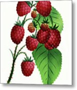 Hepstine Raspberries Hanging From A Branch Metal Print