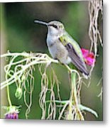 Hummingbird 105 Metal Print