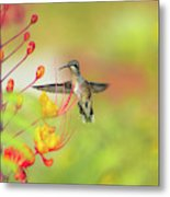 Hummingbird And Pride Of Barbados  Metal Print