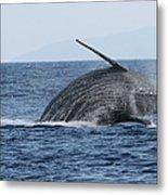 Humpback Whale Breach 2 Of 3 Metal Print