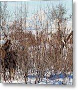 In Ninilchik A Moose Grazes In The Village In Late Winter Metal Print