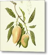 Indian Mango | Antique Plant Metal Print