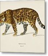 Jaguar  Panthera Onca  Illustrated By Charles Dessalines D' Orbigny  1806-1876  Metal Print