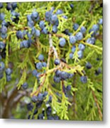 Juniper Berries Metal Print