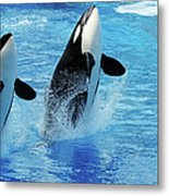 Killer Whale Family Jumping Out Of Water Metal Print