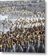 King Penguin Rookery At Salisbury Metal Print
