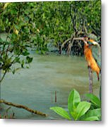 Kingfisher In The Mangroves Metal Print