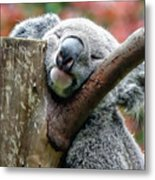 Koala Catching Zs Metal Print