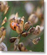 Lady Bird / Lady Bug In Flower Seed Head Metal Print