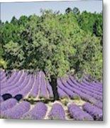 Lavender Field And Tree Metal Print