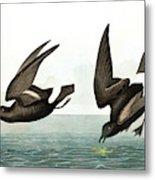 Least Stormy Petrel, Thalassidroma Pelagica By Audubon Metal Print
