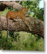 Leopard Sitting On A Branch Metal Print