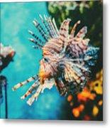 Lion Fish Hunting Among Coral Reefs Metal Print