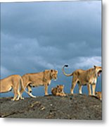 Lionesses And Cubs Panthera Leo On Metal Print