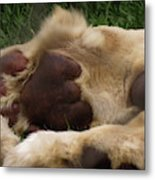 Lion's Feet Metal Print