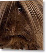 Long Haired Guinea Pig, Close-up Metal Print