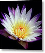 Lovely Lily In Water Metal Print