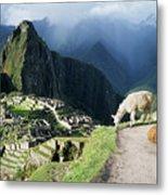 Machu Picchu And Llamas Metal Print