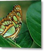 Malachite Butterfly, Siproeta Stelenes Metal Print