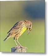 Meadowlark No 3 Metal Print