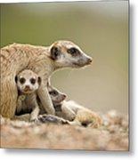 Meerkat Pups With Adult, Namibia Metal Print