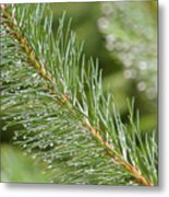 Moist Pine Tree Leaves With Water Droplets. Metal Print