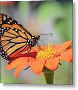 Monarch 2018-25 Metal Print