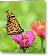 Monarch Butterfly Square Metal Print