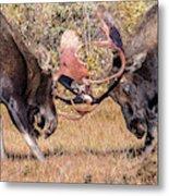 Moose Bulls Spar Close Up Metal Print