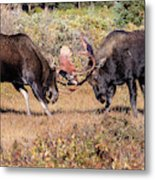Moose Bulls Spar In The Colorado High Country Metal Print