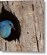 Mountain Bluebird Sialia Currucoides Metal Print