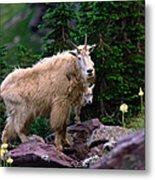 Mountain Goat Oreamnos Americanus Metal Print