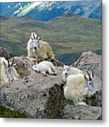 Mountain Goats In The Rocky Mountains Metal Print