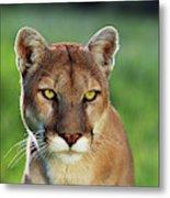 Mountain Lion Felis Concolor, Portrait Metal Print