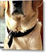 Labrador Dog Metal Print