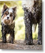 Muddy Little Dog Stands Next To A Muddy Metal Print
