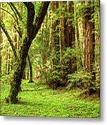Muir Woods Forest Metal Print