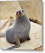 New Zealand Fur Seal, Arctocephalus Metal Print