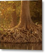 Old Cypress Tree Roots Metal Print