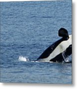 One Orca Leaping Metal Print