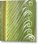 Opening Leaves Of A Japanese Sago Palm Metal Print