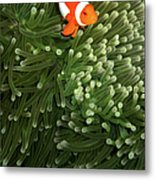 Orange Fish With Yellow Stripe Metal Print