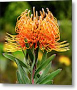 Orange Protea Metal Print