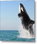 Orca Jumping Out Of Water Metal Print