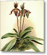 Orchid, Cypripedium Oenanthum Superbum Metal Print